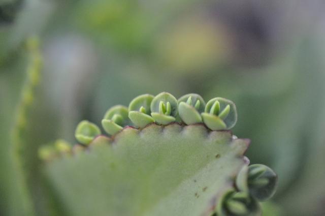 多肉植物の一種 子宝草